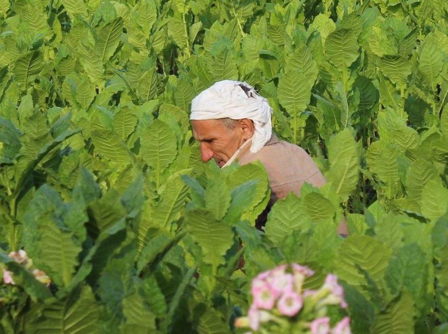 Tabakanbau in Bulgarien. Niedergang einer Kulturpflanze